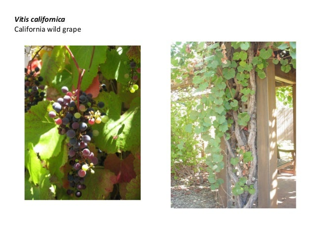 Vitis californica California wild grape
