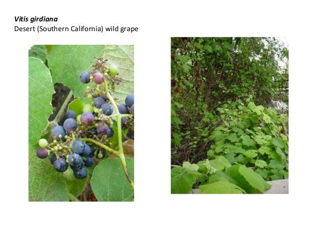 Vitis girdiana Desert (Southern California) wild grape