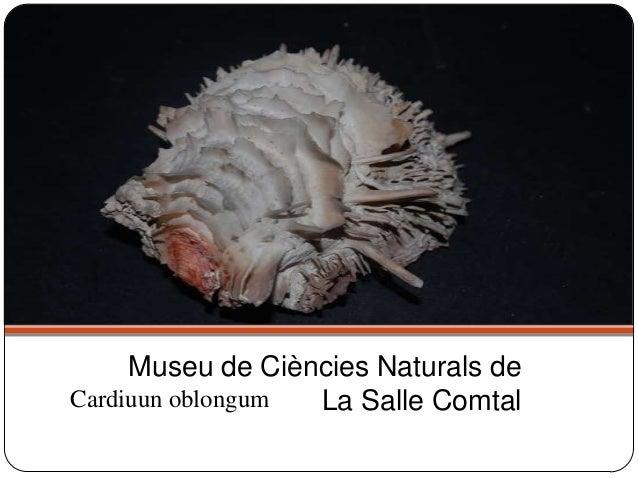 Cardiuun oblongum Museu de Ciències Naturals de La Salle Comtal