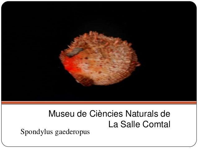 Spondylus gaederopus Museu de Ciències Naturals de La Salle Comtal