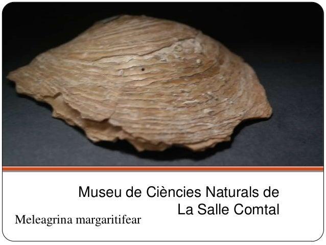 Meleagrina margaritifear Museu de Ciències Naturals de La Salle Comtal
