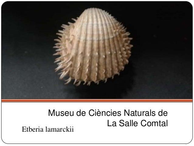 Etberia lamarckii Museu de Ciències Naturals de La Salle Comtal