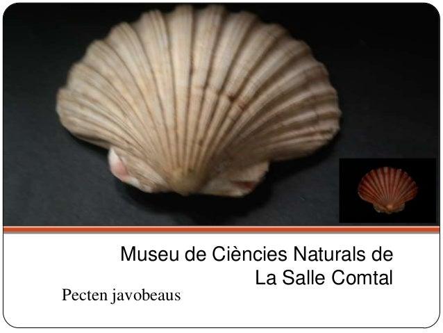 Pecten javobeaus Museu de Ciències Naturals de La Salle Comtal