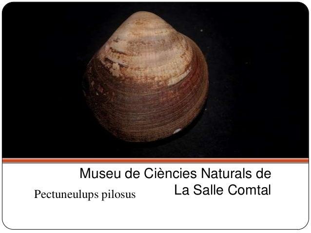 Pectuneulups pilosus Museu de Ciències Naturals de La Salle Comtal
