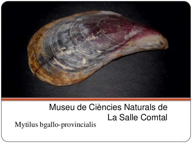 Mytilus bgallo-provincialis Museu de Ciències Naturals de La Salle Comtal