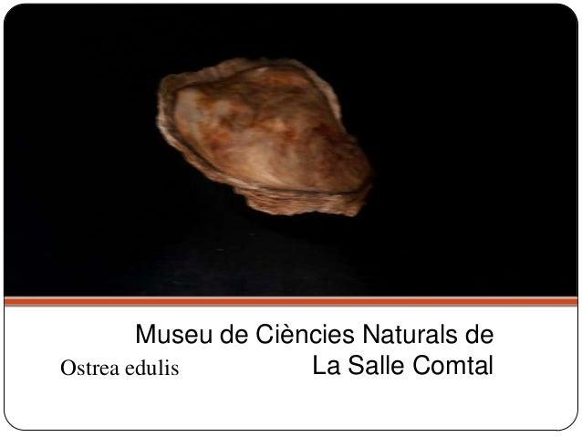 Ostrea edulis Museu de Ciències Naturals de La Salle Comtal