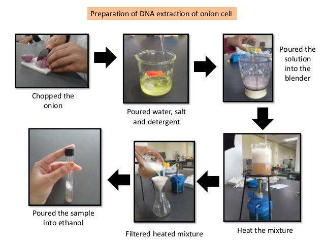 extracting onion dna Biochemistry project: use basic dna extraction techniques to extract dna from  an onion.