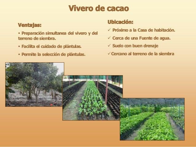 Viveros de cacao y seleccion de semillas17 for Vivero definicion
