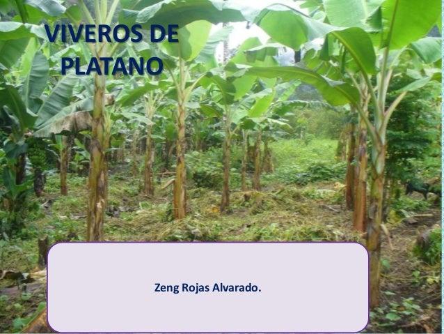 Viveros de platano juanjui villa prado zeng rojas alvarado for Viveros en la plata