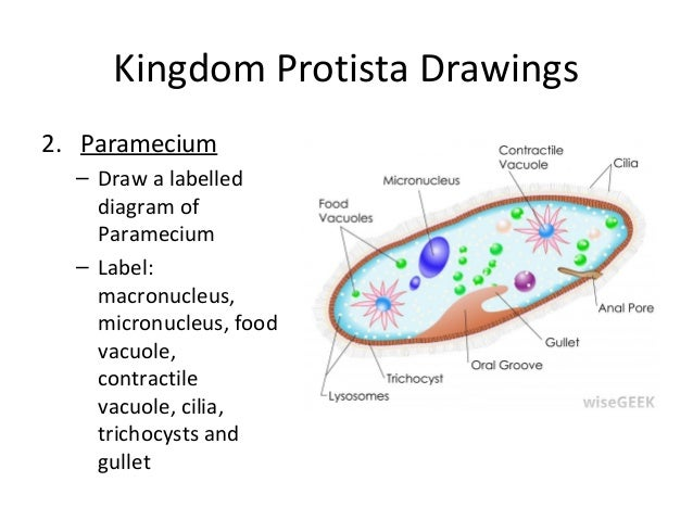 Collectionedwn Euglena Diagram likewise 2 furthermore Protists L 0439 additionally 1315970 in addition Protozoans. on pseudopod diagram