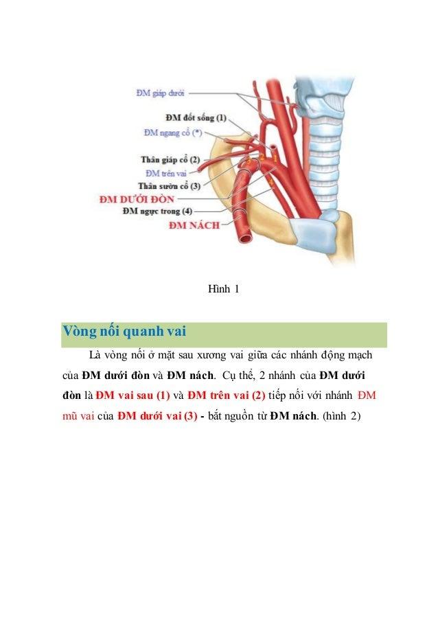 Hình 1 Vòng nối quanh vai Là vòng nối ở mặt sau xương vai giữa các nhánh động mạch của ĐM dưới đòn và ĐM nách. Cụ thể, 2 n...