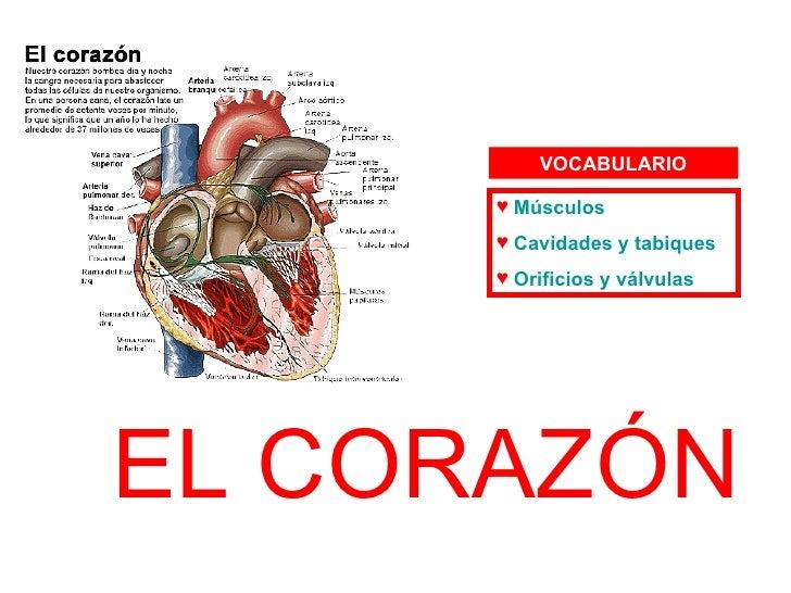 EL CORAZÓN <ul><li>Músculos </li></ul><ul><li>Cavidades y tabiques </li></ul><ul><li>Orificios y válvulas </li></ul>VOCABU...