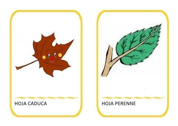 Vocabulario oto o for Arboles de hoja perenne wikipedia