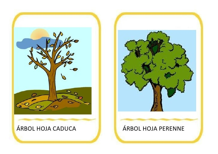 Vocabulario oto o for Arboles de hoja caduca y perenne