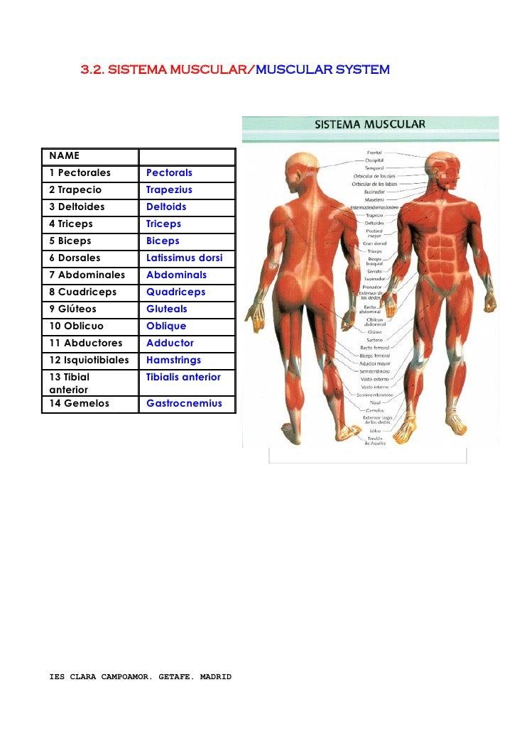 Anatomia Ingle | www.imagenesmy.com