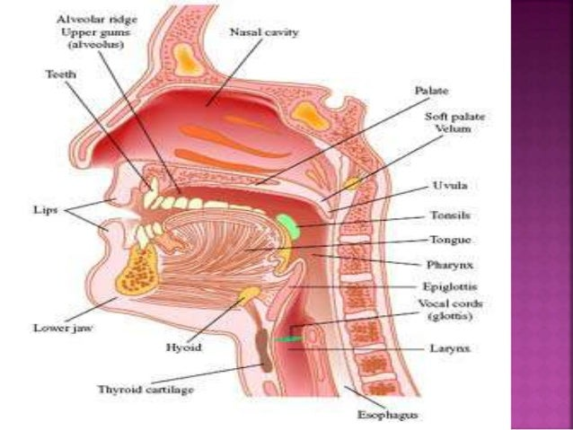 Vocal Cords Vibration Theories