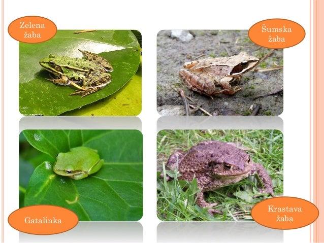 dating site žaba