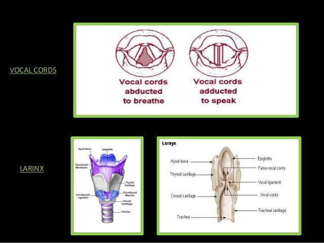 voice production You use your voice and if you want to improve as an actor you should gain some knowledge on how the voice itself works there are also more general parts that create the voice such as the trachea (or windpipe) is the airflow from the larynx in the mouth to the lungs when an actor has good posture.