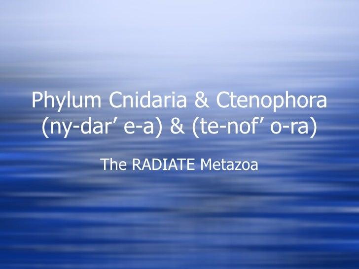 Phylum Cnidaria & Ctenophora (ny-dar' e-a) & (te-nof' o-ra) The RADIATE Metazoa