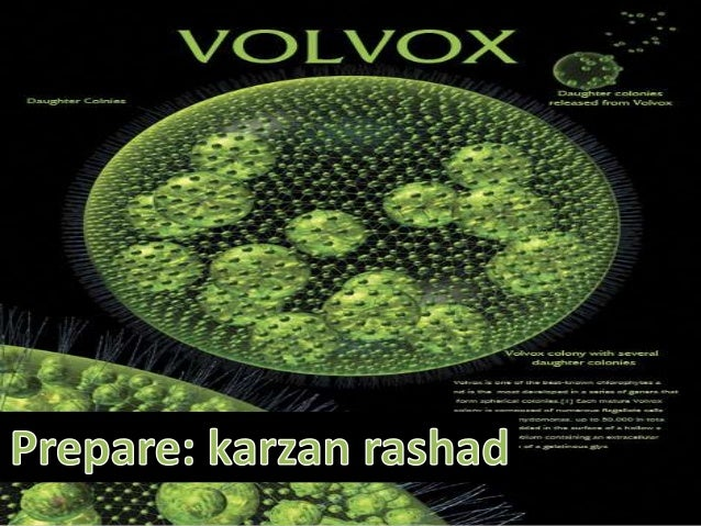 Classification•Kingdom: PlantaePhylum: ChlorophytaClass :ChlorophyceaeOrder: VolvocalesFamily :VolvocaceaeGenus :Volvox