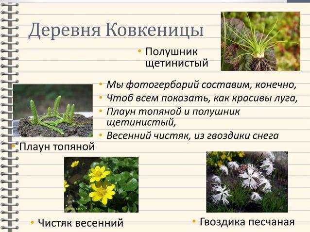 Деревня Ковкеницы • Мы фотогербарий составим, конечно, • Чтоб всем показать, как красивы луга, • Плаун топяной и полушник ...