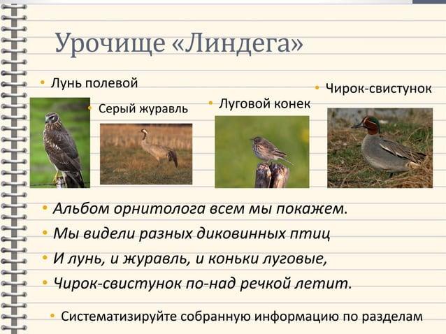 Урочище «Линдега» • Лунь полевой • Альбом орнитолога всем мы покажем. • Мы видели разных диковинных птиц • И лунь, и журав...