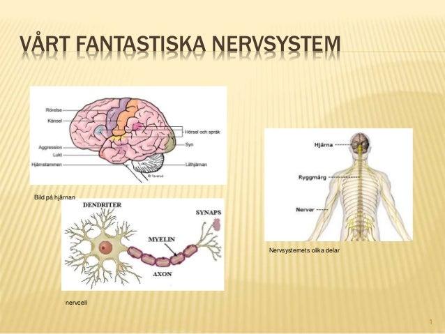 VÅRT FANTASTISKA NERVSYSTEM 1 Bild på hjärnan Nervsystemets olika delar nervcell