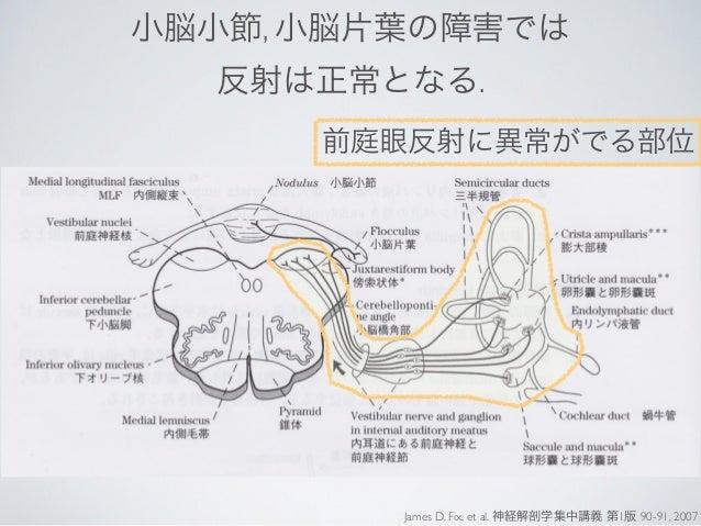 小脳小節, 小脳片葉の障害では  反射は正常となる.      前庭眼反射に異常がでる部位         James D. Fix, et al. 神経解剖学集中講義 第1版 90-91, 2007