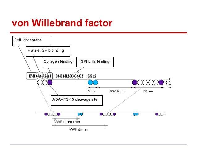 von Willebrand factorFVIII chaperonePlatelet GPIb bindingADAMTS-13 cleavage siteCollagen binding GPIIbIIIa binding