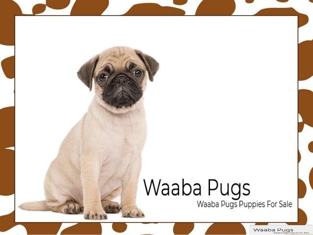 Waaba Pugs Waabapugs Puppies For Sale