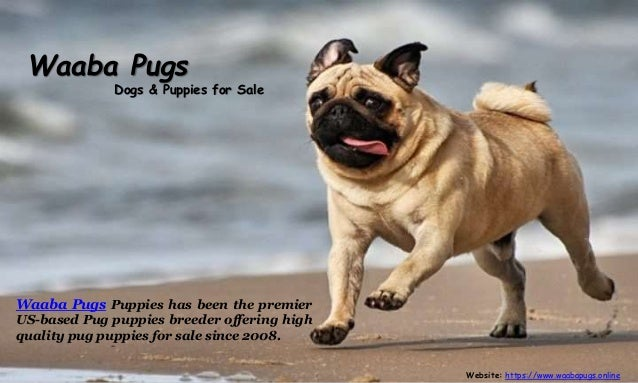 Waabapugs Dogs & Puppies for Sale - Waaba Pugs