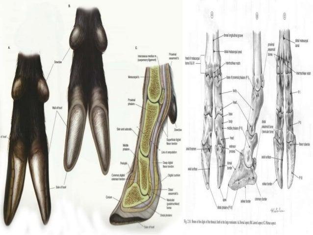 Anatomy Of Hoof