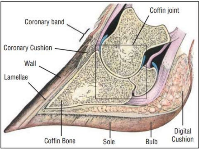Anatomy Of Hoof
