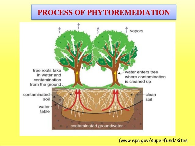 phytoremediation process Define phytoremediation: the treatment of pollutants or waste (as in contaminated soil or groundwater) by the use of phytoremediation in a sentence.