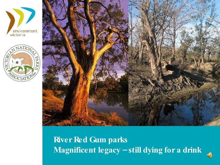 River Red Gum parks Magnificent legacy – still dying for a drink