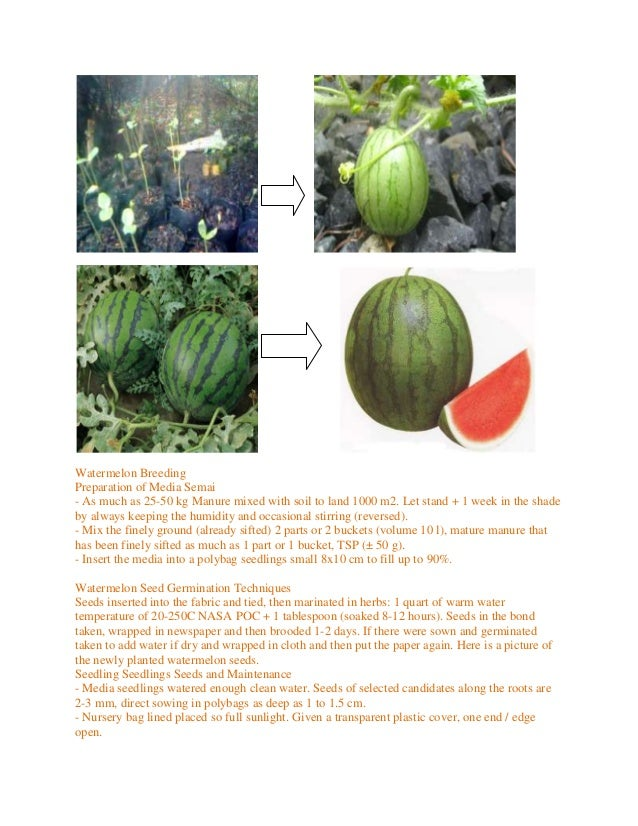 Watermelon BreedingPreparation of Media Semai- As much as 25-50 kg Manure mixed with soil to land 1000 m2. Let stand + 1 w...