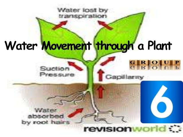 Water movement through a plant