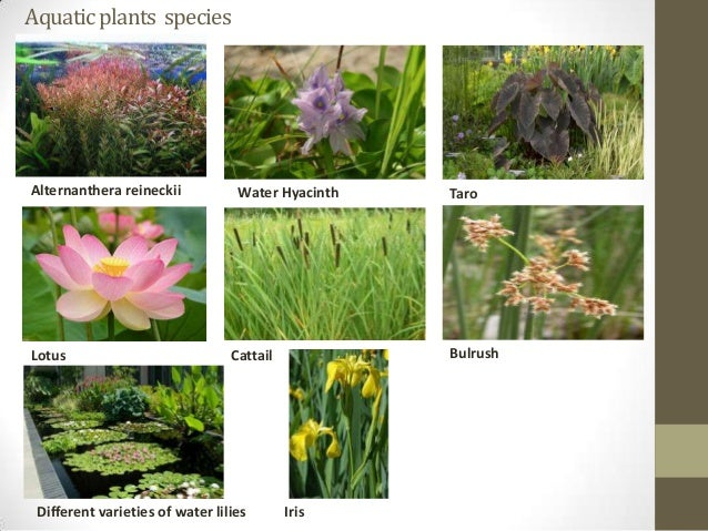 Examples Of Aquatic Plants With Names