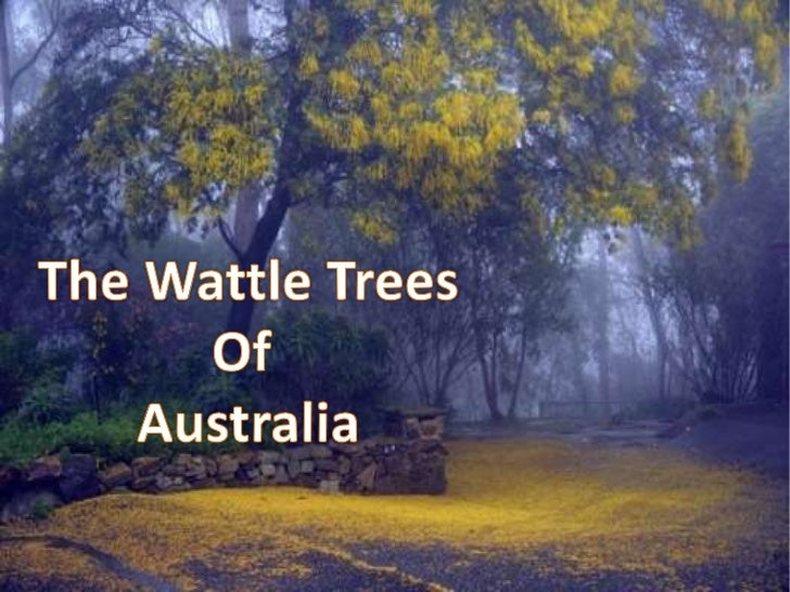 The Wattle Trees<br />Of <br />Australia<br />