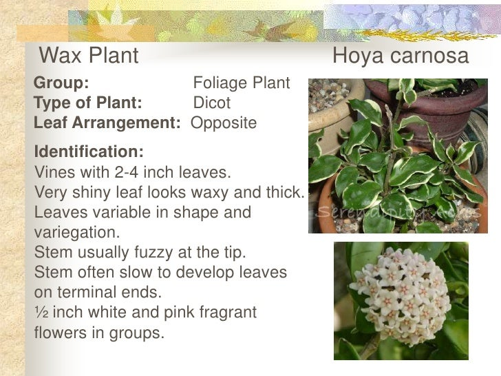 Wax Plant       Hoya carnosa<br />Group:Foliage Plant<br />Type of Plant:Dicot<br />Leaf Arrangement: Opposite<br />Id...