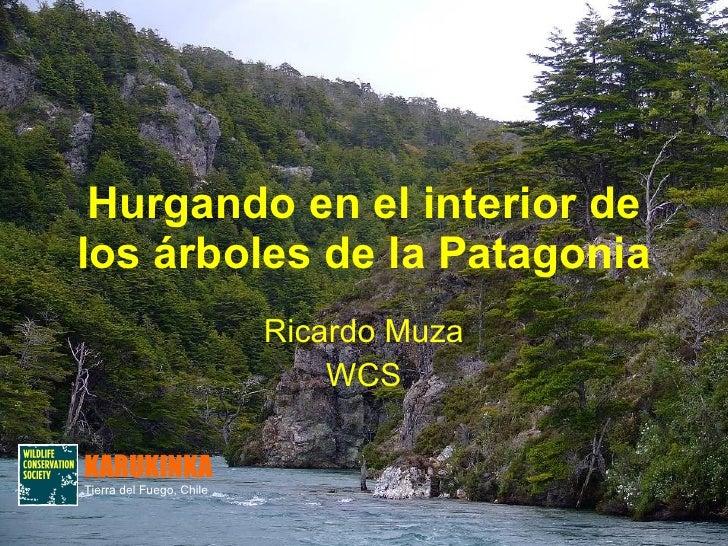 Hurgando en el interior de los árboles de la Patagonia Ricardo Muza WCS KARUKINKA Tierra del Fuego, Chile
