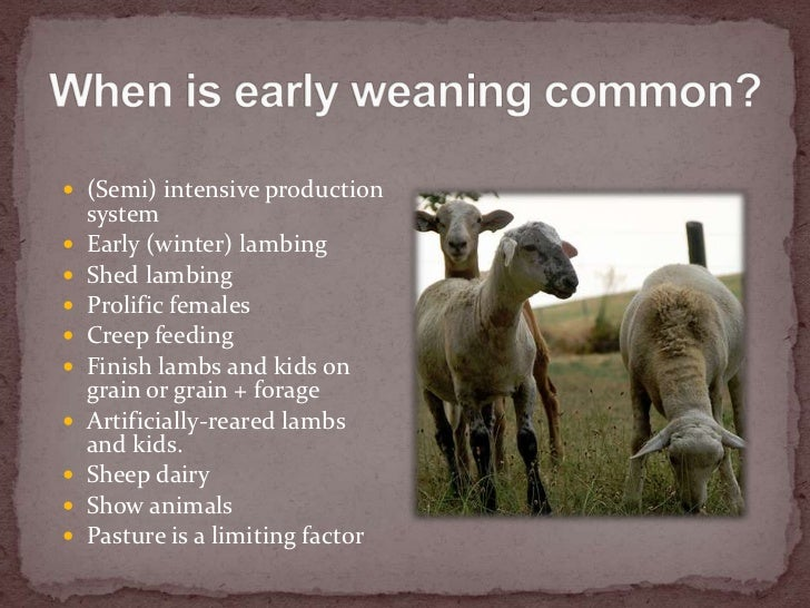 Weaning lambs and kids