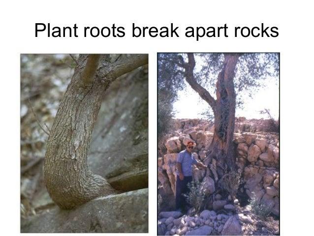 Plant roots break apart rocks