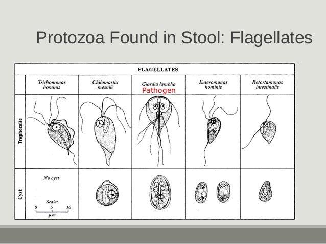 Protozoa Found in Stool: Flagellates Pathogen