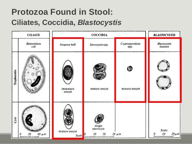 Protozoa Found in Stool: Ciliates, Coccidia, Blastocystis