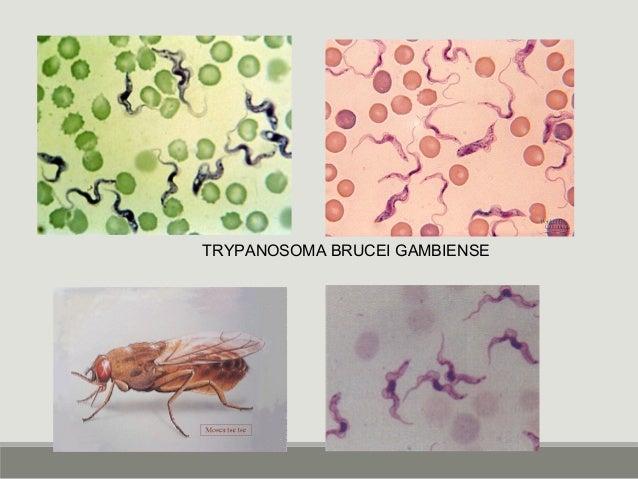 TRYPANOSOMA BRUCEI GAMBIENSE