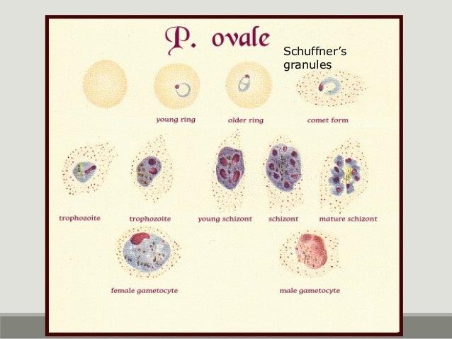 P. ovale Fimbriated edge