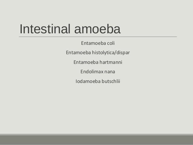 Intestinal amoeba Entamoeba coli Entamoeba histolytica/dispar Entamoeba hartmanni Endolimax nana Iodamoeba butschlii