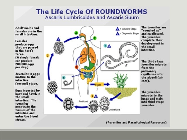 Strongyloides stercoralis Can be found in intestines or stools In real sick can go to lung and cause pneumonia