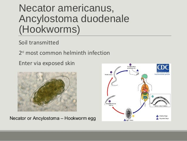 Identification of microfilariae is based on the presence of a sheath covering the larvae, as well as the distribution of n...